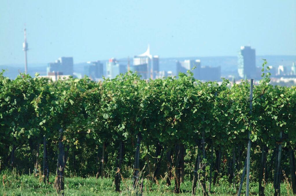 Wienreben in Oberlaa mit Blick in über die Stadt im Hintergrund.
